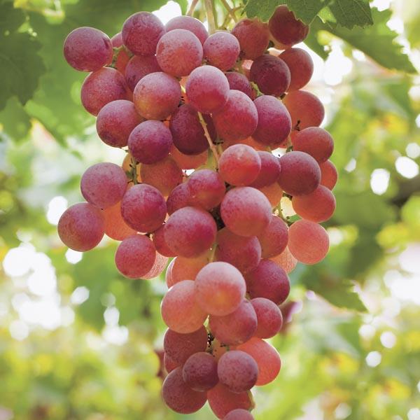 Fox Grape